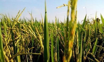 Conab abre chamada pública para compra de sementes de arroz orgânico no Rio Grande do Sul